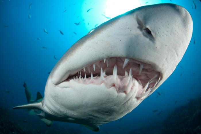 How sharks could aid human tooth regeneration - Medical News Today