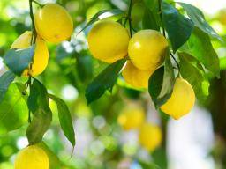 How can lemons benefit your health?