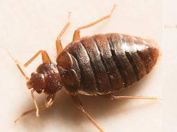 Bedbugs Symptoms Treatment And Removal