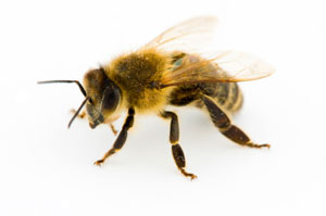 Bee venom attacks HIV