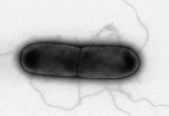 C-Diff Cell