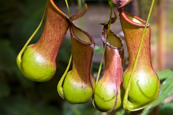 Nepenthes-Burkei - the carnivorous pitcher plant