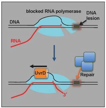 New Model of DNA Repair