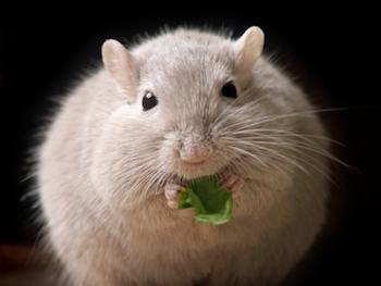 an overweight mouse eating a leaf