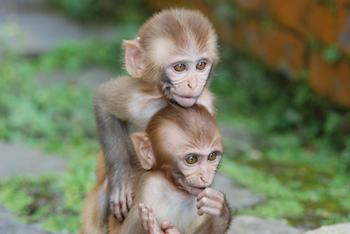 Baby monkeys playing