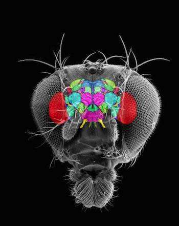 Computer-simulated Image of a Fruit Fly's Brain