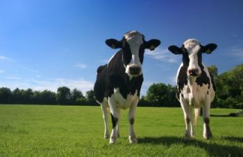 two cows standing in a field