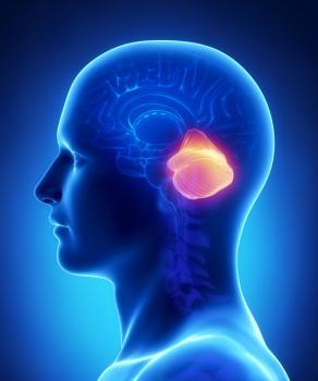 Cerebellum in the brain