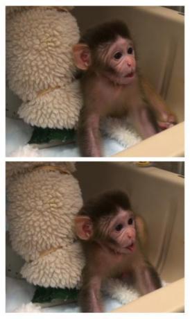 Rhesus Monkey Gesturing