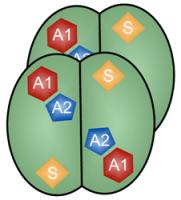 Four identical subunits make up the antiviral SAMHD1 enzyme