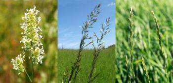 Three Examples of Grass Species