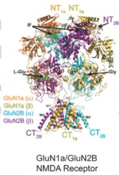 Crystal Structure of the NMDA Receptor Reveals Numerous Surfaces for Drug Development