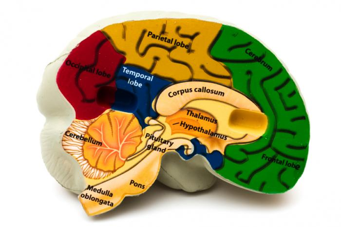 Cross section of brain