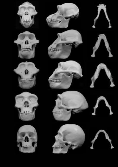 Skull shapes