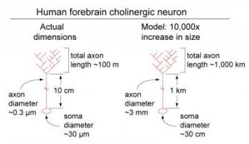 Relative Dimensions of a Human Cholinergic Neuron