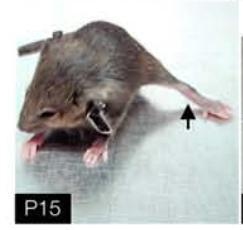 dystonia mouse