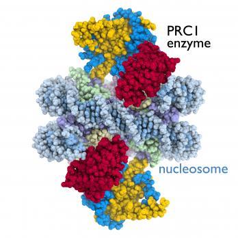 [PRC1 enzyme]