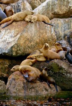 [Sea Lions]