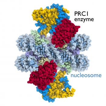This image reveals the crystal structure of the PRC1 enzyme bound to the nucleosome