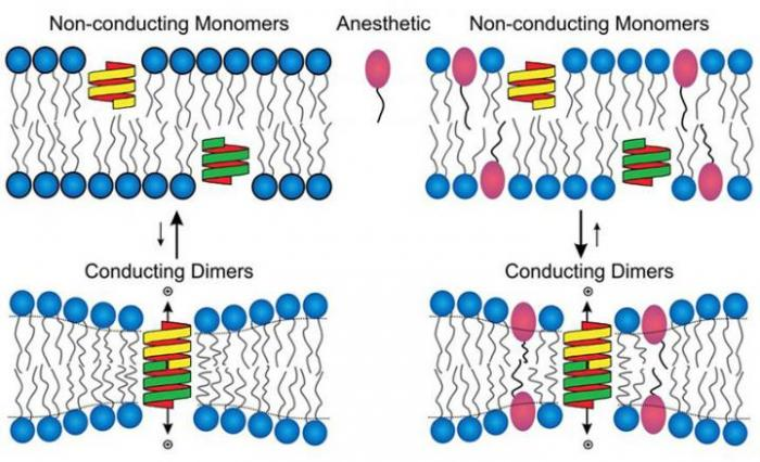 [Cell Membrane and Anesthesia]
