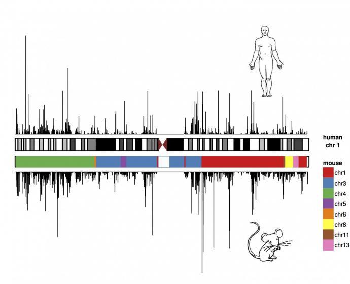 [Chromosome 1]