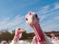[Turkeys]