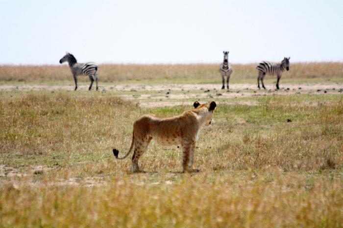Lion watching zebras.