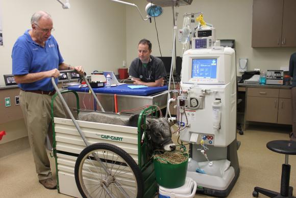 Zebu undergoing hemodialysis