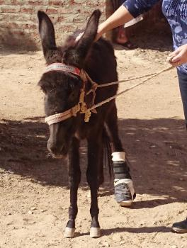 Hector the donkey with prosthetic lower leg