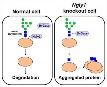 Schematic Representation of ENGase-Mediated Formation of Incompletely Deglycosylated Proteins in Cell