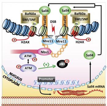 Sall4 Promotes DNA Repair