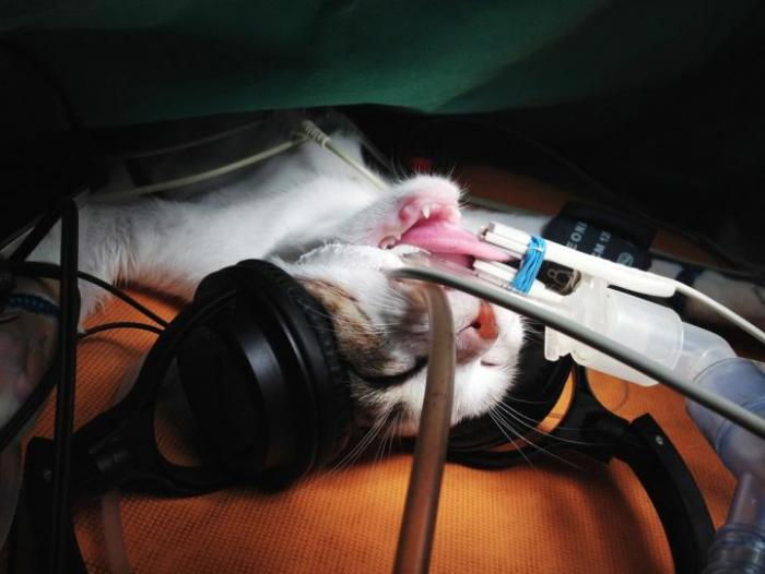 cat under anesthetic with headphones
