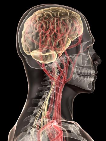 human brain and blood vessels