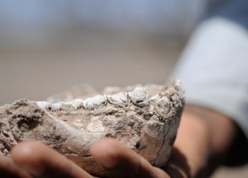 new hominin species jaw fossil